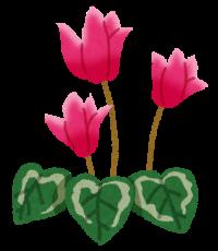 flower_cyclamen